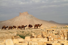 Caravan del Palmyra del cammello arabo Fotografia Stock