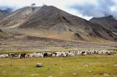 Caravan della capra in Ladakh Immagine Stock Libera da Diritti
