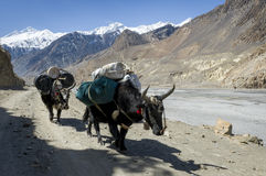 Caravan in Himalaya mountains Stock Photos