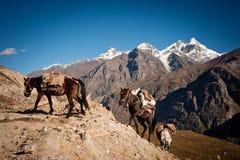 Caravan of horses Royalty Free Stock Photo