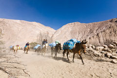 Caravan of mules Stock Images