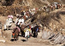 Caravan of mules with good Royalty Free Stock Photos
