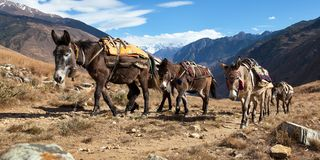 Caravan of mules in nepalese Himalayas Royalty Free Stock Image