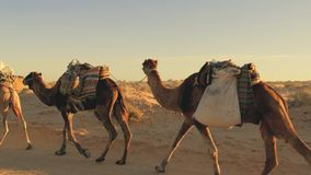 Caravan of nomads in tunisian sahara desert. Sahara desert, people and dromedary camels stock video