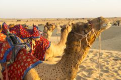 The Caravan Rests. A caravan of camels are resting in the afternoon sun in Jaisalmir, India stock photo
