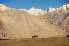 Caravan travellers riding camels Nubra Valley Ladakh ,India Royalty Free Stock Photography
