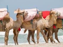 Caravan van kamelen Royalty-vrije Stock Foto
