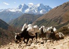 Caravan van yaks die naar Everest-basiskamp gaan Stock Foto's