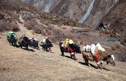 Caravan van yaks die van Tibet in Nepal kruisen Royalty-vrije Stock Fotografie