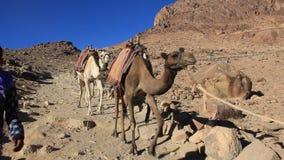 Caravan. Wilderness of Mount Sinai. Egypt stock video