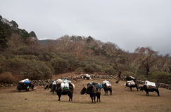 Caravan of yaks Stock Images
