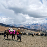 Caravan of yaks in Dolpo, Nepal Stock Image