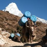 Caravan of yaks with goods Stock Images