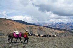 Caravan of yaks. Herd of yaks in tDolpo region in he Nepal Himalaya Stock Photo