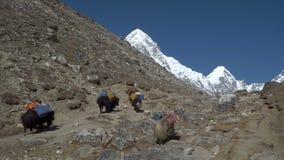 Caravan Yaks in the Himalayas. Caravan of yaks in the Himalayas. Yaks carry loads in the mountains of Nepal. 4K stock video