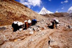 CARAVAN OF YAKS, KHUMBU NEPAL. Stock Photo