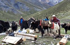 Caravan of yaks, Nepal Royalty Free Stock Images