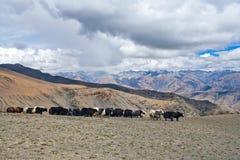 Caravan of yaks Stock Photo