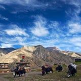 Caravan of yaks in Saldang village, Nepal Stock Photo