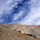 Caravan of yaks Royalty Free Stock Images