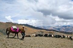 Caravan of yaks. SHEY LA, NEPAL - SEPTEMBER 5: Tibetan nomad with yaks walking across Shey La pass on September 5, 2011 in the Nepal Himalaya Royalty Free Stock Images