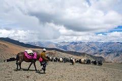 Caravan of yaks Stock Image