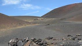 Caravana de camellos almacen de metraje de vídeo