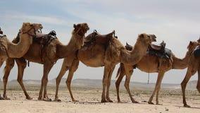 Caravana de camellos en el desierto almacen de metraje de vídeo