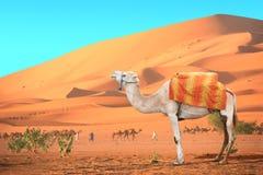 Caravana de camellos en el desierto del Sáhara, Marruecos Fotografía de archivo