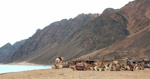 Caravana de los camellos que entra en desierto del Sáhara en Dahab metrajes