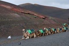 Caravana de los dromedarios que mienten delante del parque nacional de Timanfaya fotos de archivo