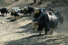 Caravana de Yaks Imagenes de archivo