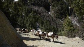 Caravana del burro en Nepal almacen de video