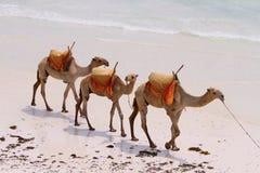 Caravana del camello Foto de archivo libre de regalías