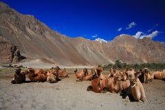 Caravana del camello en las dunas de arena Imagenes de archivo