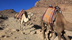 Caravana. Desierto del monte Sinaí. Egipto almacen de video