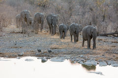 Caravana dos elefantes africanos Foto de Stock