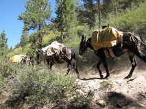Caravane de mule Image stock