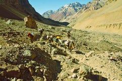 Caravane de mules dans les montagnes Photos stock