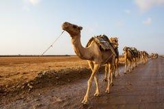 Caravane des chameaux image stock