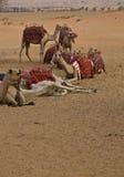 Caravane des chameaux Images libres de droits