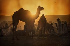 Caravane des chameaux au coucher du soleil dans le désert de sable Images libres de droits