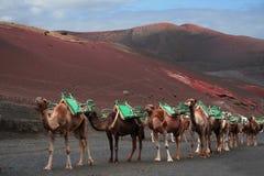 Caravane des chameaux, Lanzarote Images stock