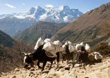 Caravane des yaks allant au camp de base d'Everest Photos stock