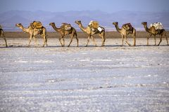 Caravans transporting salt blocks from Lake Assale. The Danakil depression — specifically the area surrounding Lake Afdera — is the place from which close to Royalty Free Stock Photography
