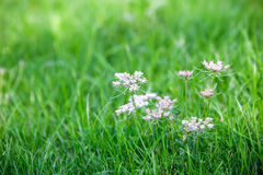 Caraway is a biennial plant Royalty Free Stock Images