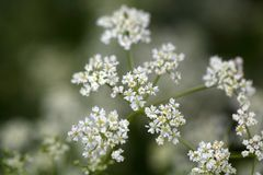 Caraway, Carum carvi, flowers Royalty Free Stock Image