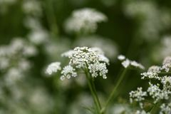 Caraway, Carum carvi, flowers Royalty Free Stock Photos