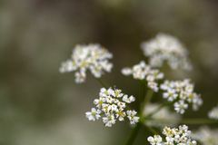 Caraway, Carum carvi, flowers Royalty Free Stock Images