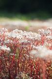 Caraway plants Stock Images